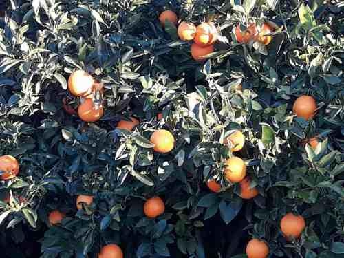 persianas valencia come naranjas