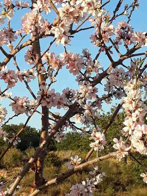 almendros en flor foto hecha por persianas valencia